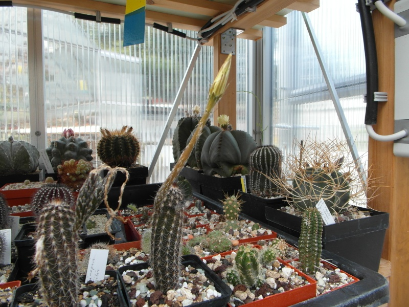 Cacti and Sukkulent in Köln, every day new flowers in the greenhouse Part 69 Bild_482