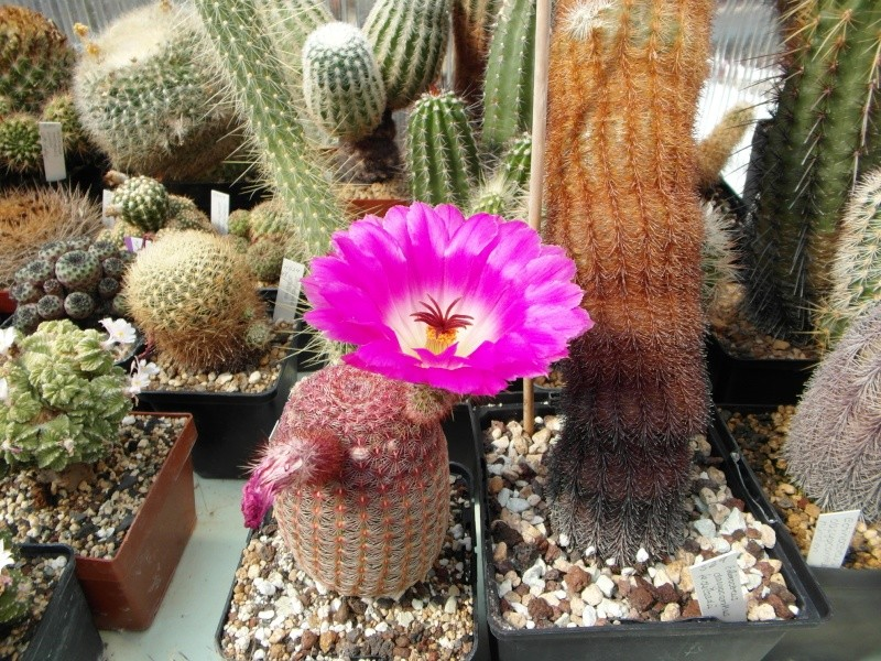 Cacti and Sukkulent in Köln, every day new flowers in the greenhouse Part 69 Bild_484