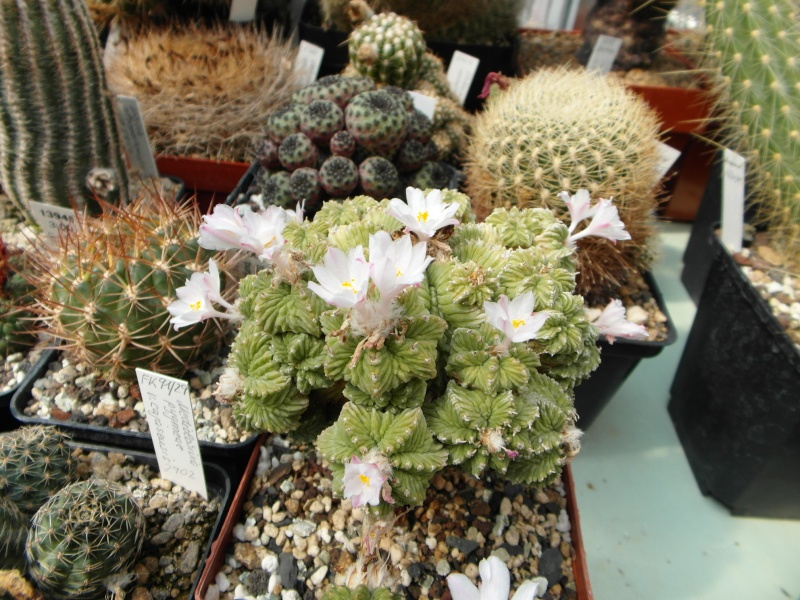 Cacti and Sukkulent in Köln, every day new flowers in the greenhouse Part 69 Bild_485