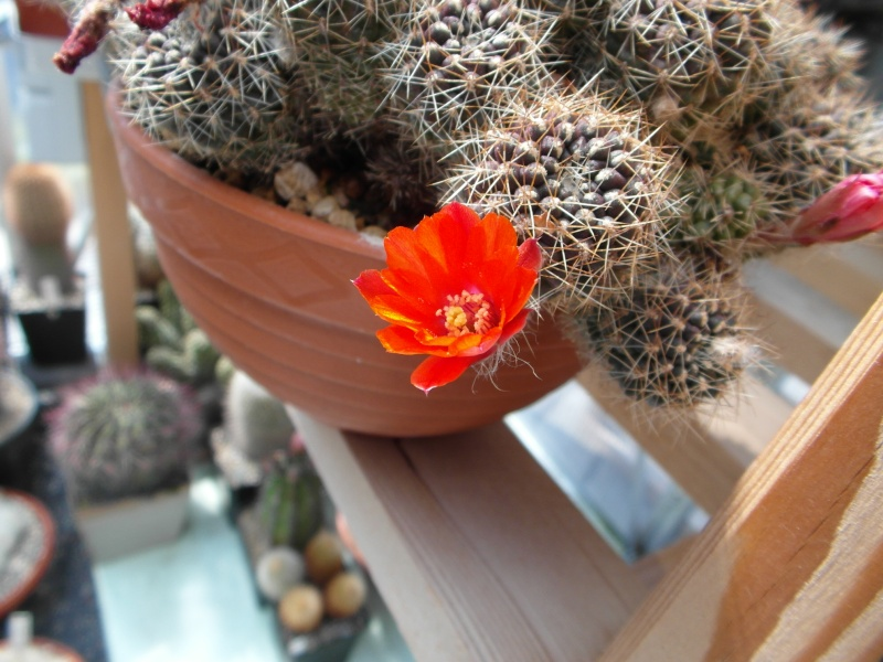 Cacti and Sukkulent in Köln, every day new flowers in the greenhouse Part 69 Bild_486
