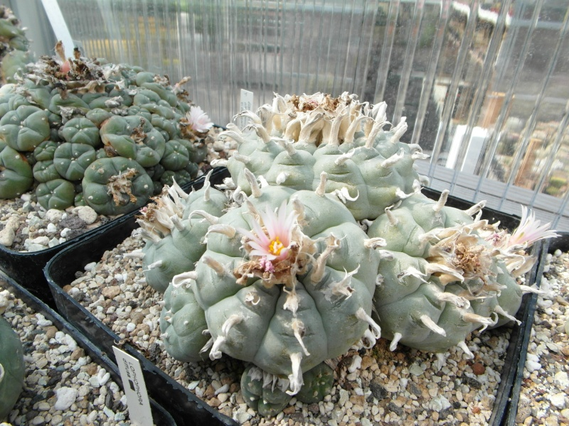 Cacti and Sukkulent in Köln, every day new flowers in the greenhouse Part 69 Bild_488