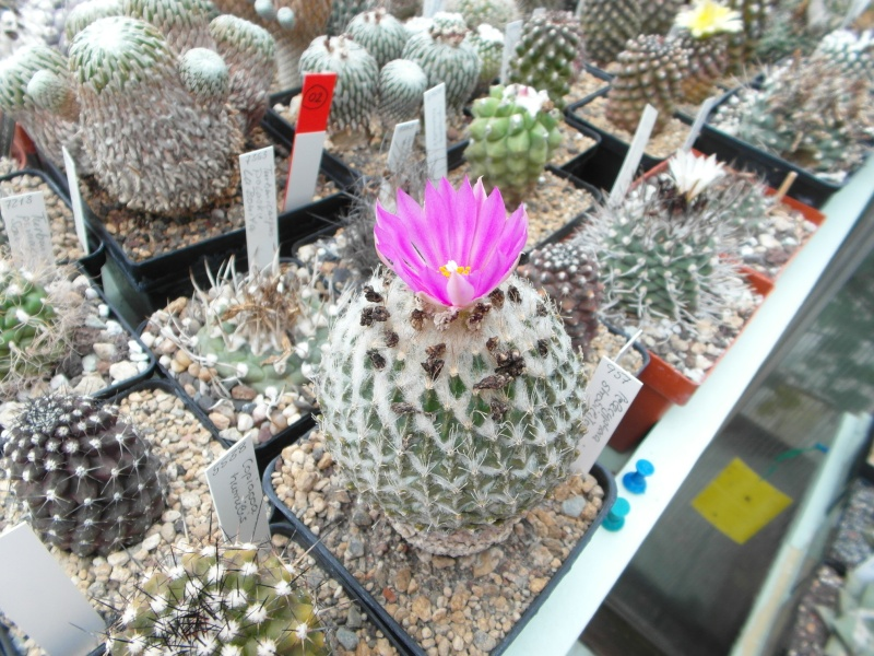 Cacti and Sukkulent in Köln, every day new flowers in the greenhouse Part 69 Bild_505