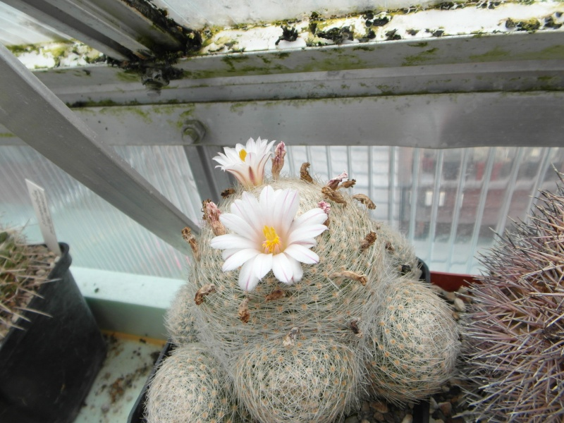 Cacti and Sukkulent in Köln, every day new flowers in the greenhouse Part 69 Bild_506