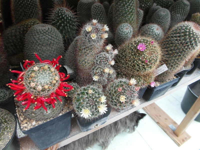 Cacti and Sukkulent in Köln, every day new flowers in the greenhouse Part 69 Bild_507
