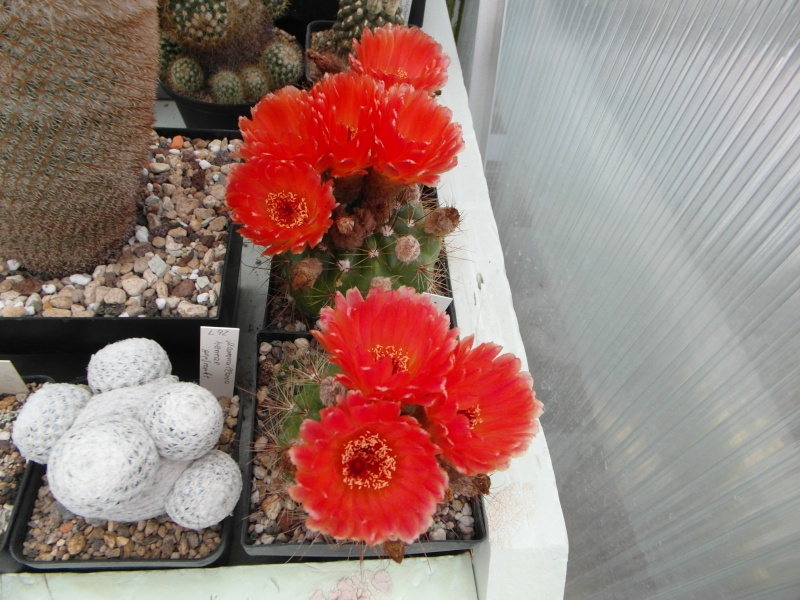 Cacti and Sukkulent in Köln, every day new flowers in the greenhouse Part 64 Bild_510