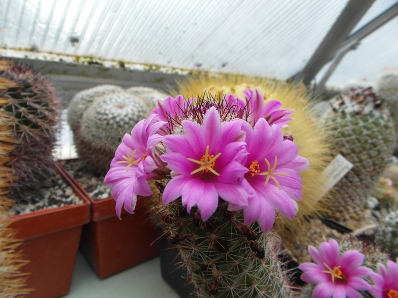 Cacti and Sukkulent in Köln, every day new flowers in the greenhouse Part 64 Bild_515