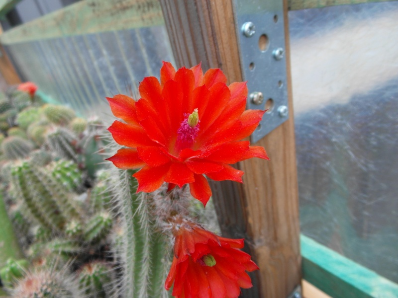 Cacti and Sukkulent in Köln, every day new flowers in the greenhouse Part 64 Bild_518