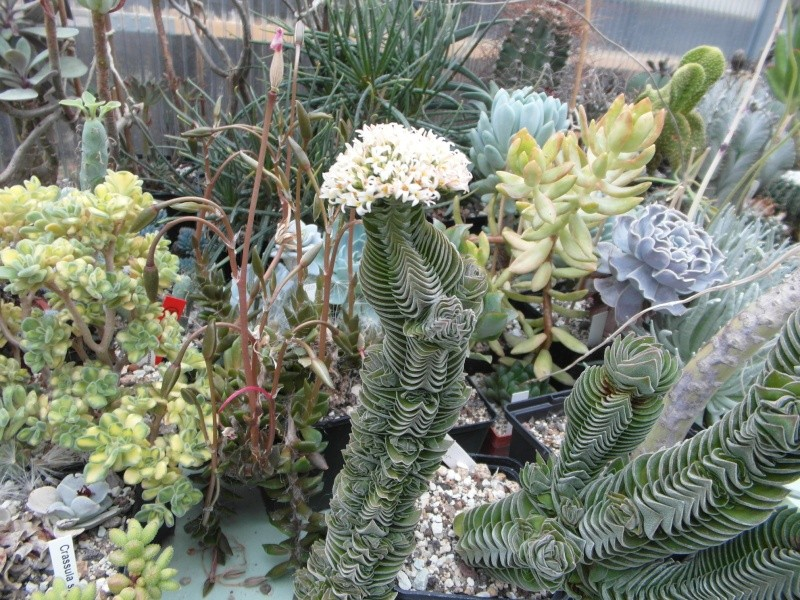 Cacti and Sukkulent in Köln, every day new flowers in the greenhouse Part 64 Bild_523