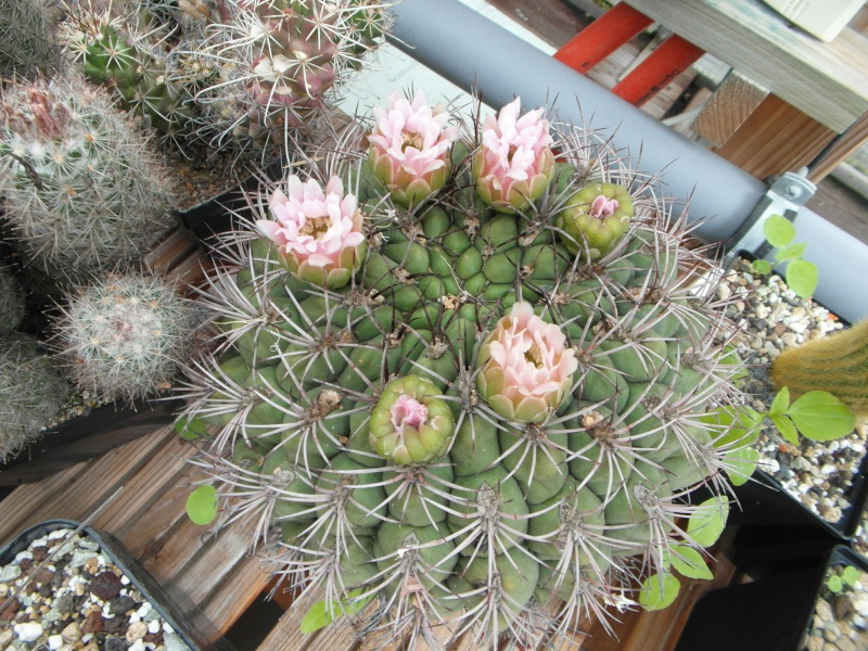 Cacti and Sukkulent in Köln, every day new flowers in the greenhouse Part 65 Bild_525