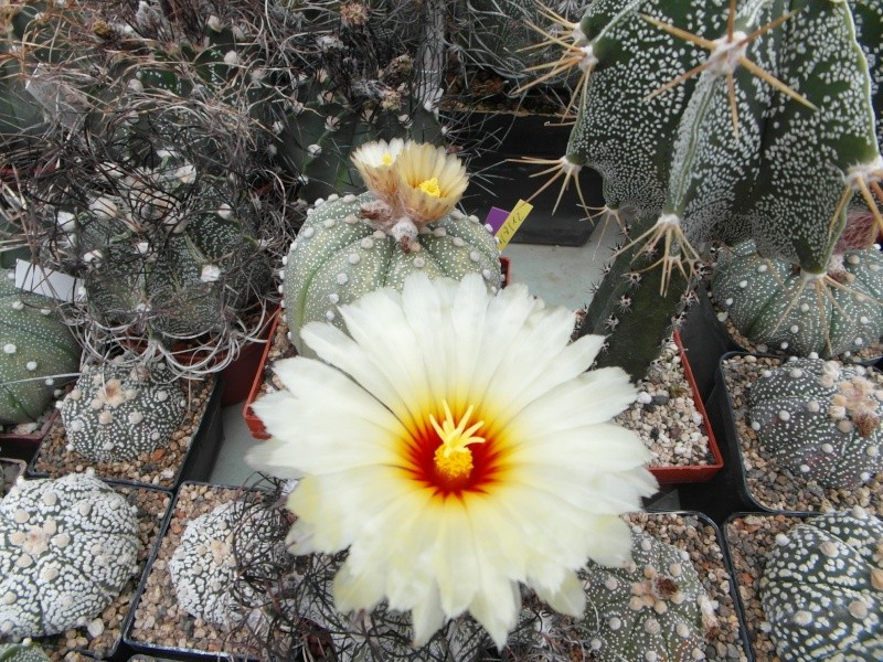 Cacti and Sukkulent in Köln, every day new flowers in the greenhouse Part 65 Bild_535