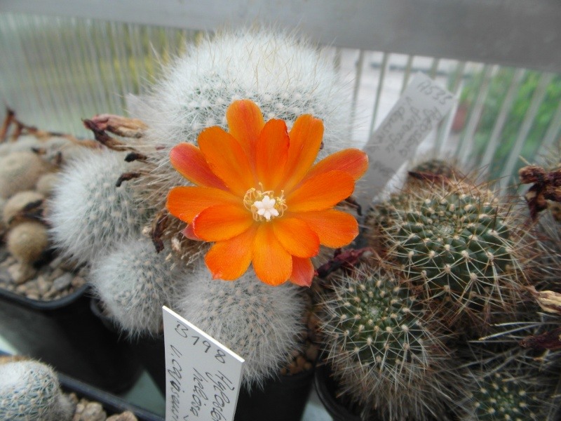 Cacti and Sukkulent in Köln, every day new flowers in the greenhouse Part 65 Bild_537