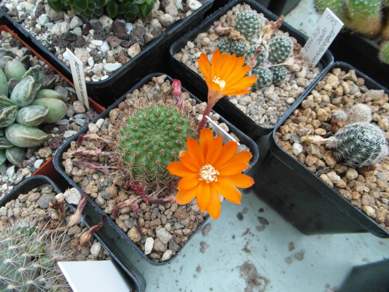 Cacti and Sukkulent in Köln, every day new flowers in the greenhouse Part 65 Bild_538