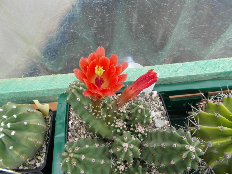 Cacti and Sukkulent in Köln, every day new flowers in the greenhouse Part 65 Bild_542