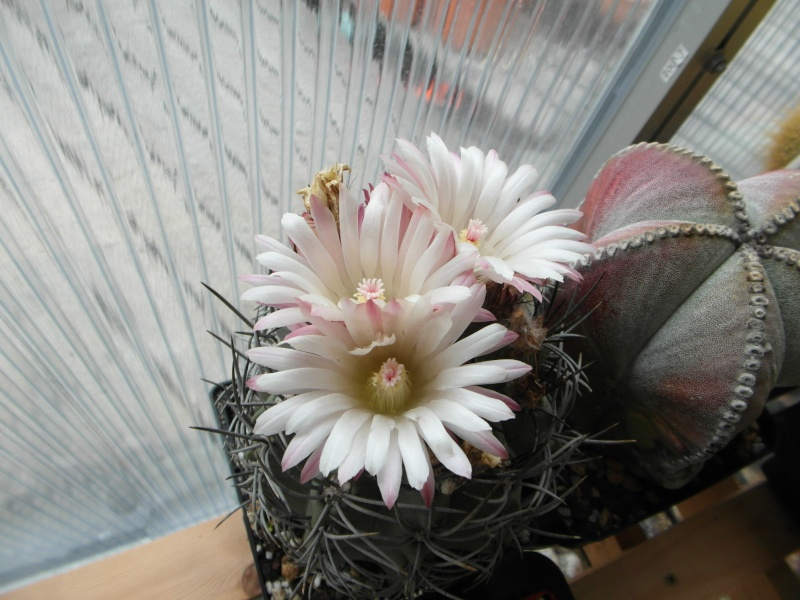 Cacti and Sukkulent in Köln, every day new flowers in the greenhouse Part 65 Bild_546