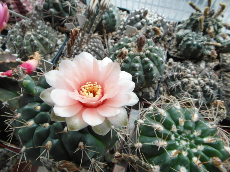 Cacti and Sukkulent in Köln, every day new flowers in the greenhouse Part 65 Bild_554