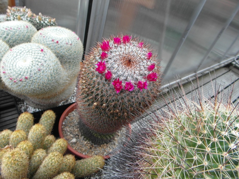 Cacti and Sukkulent in Köln, every day new flowers in the greenhouse Part 65 Bild_561