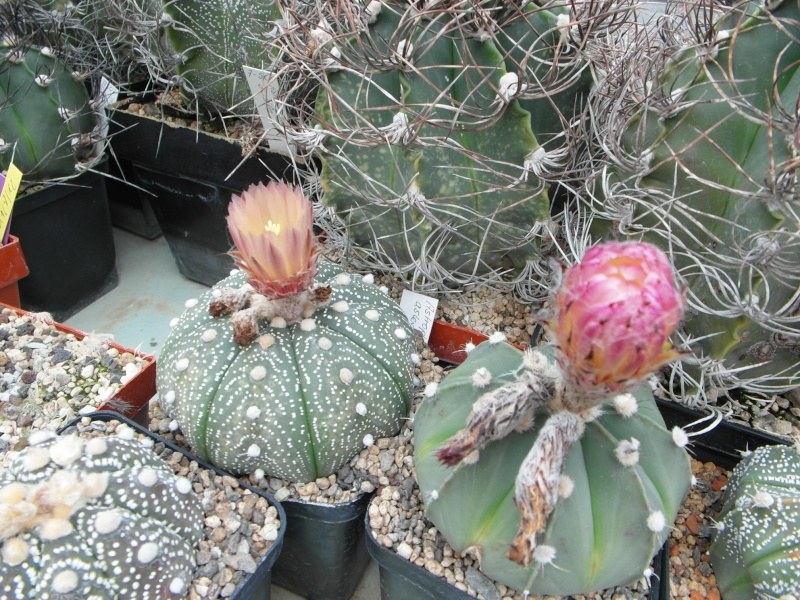 Cacti and Sukkulent in Köln, every day new flowers in the greenhouse Part 65 Bild_575