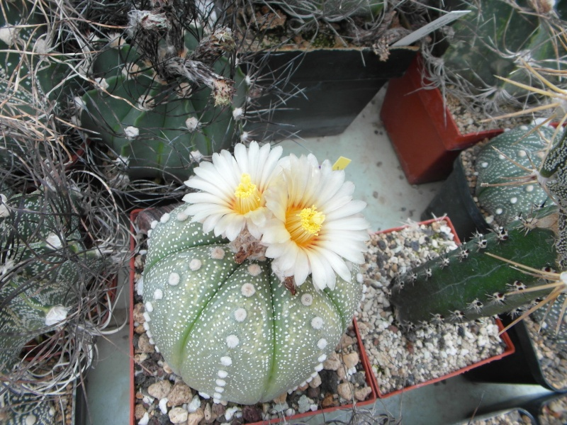 Cacti and Sukkulent in Köln, every day new flowers in the greenhouse Part 65 Bild_576