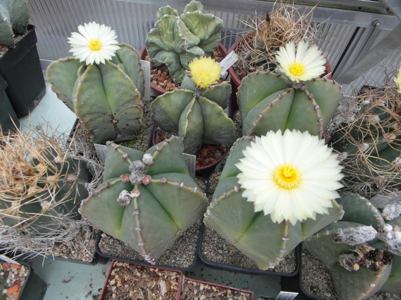Cacti and Sukkulent in Köln, every day new flowers in the greenhouse Part 65 Bild_577