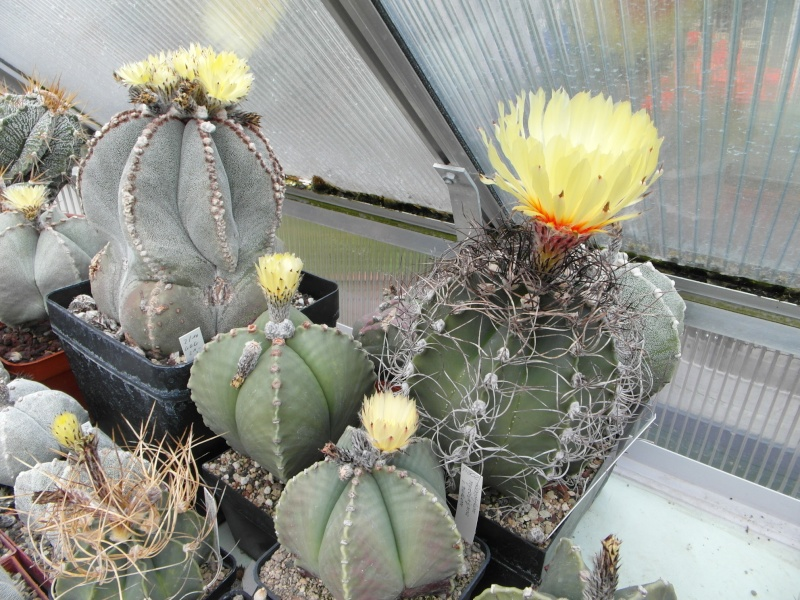 Cacti and Sukkulent in Köln, every day new flowers in the greenhouse Part 65 Bild_579
