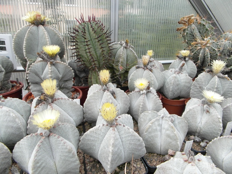 Cacti and Sukkulent in Köln, every day new flowers in the greenhouse Part 65 Bild_580