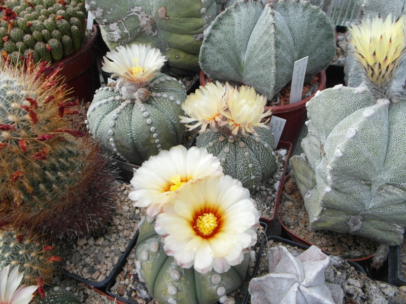 Cacti and Sukkulent in Köln, every day new flowers in the greenhouse Part 65 Bild_581