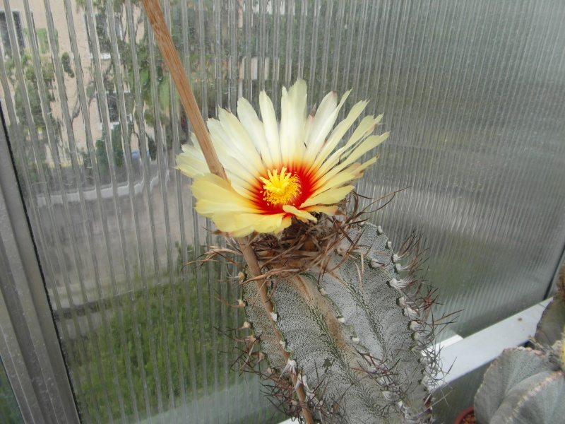 Cacti and Sukkulent in Köln, every day new flowers in the greenhouse Part 65 Bild_582