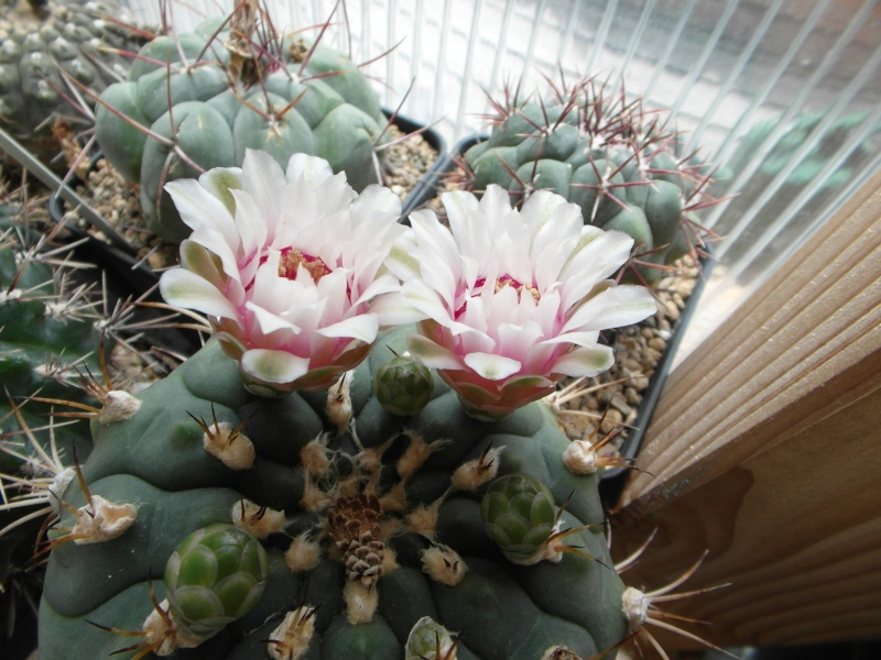 Cacti and Sukkulent in Köln, every day new flowers in the greenhouse Part 66 Bild_599