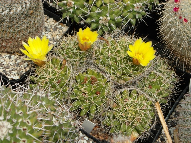 Cacti and Sukkulent in Köln, every day new flowers in the greenhouse Part 69 Bild_600
