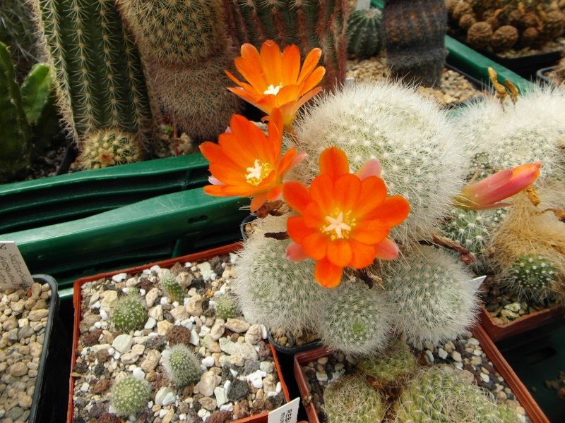 Cacti and Sukkulent in Köln, every day new flowers in the greenhouse Part 69 Bild_603