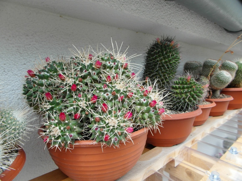 Cacti and Sukkulent in Köln, every day new flowers in the greenhouse Part 70 Bild_606