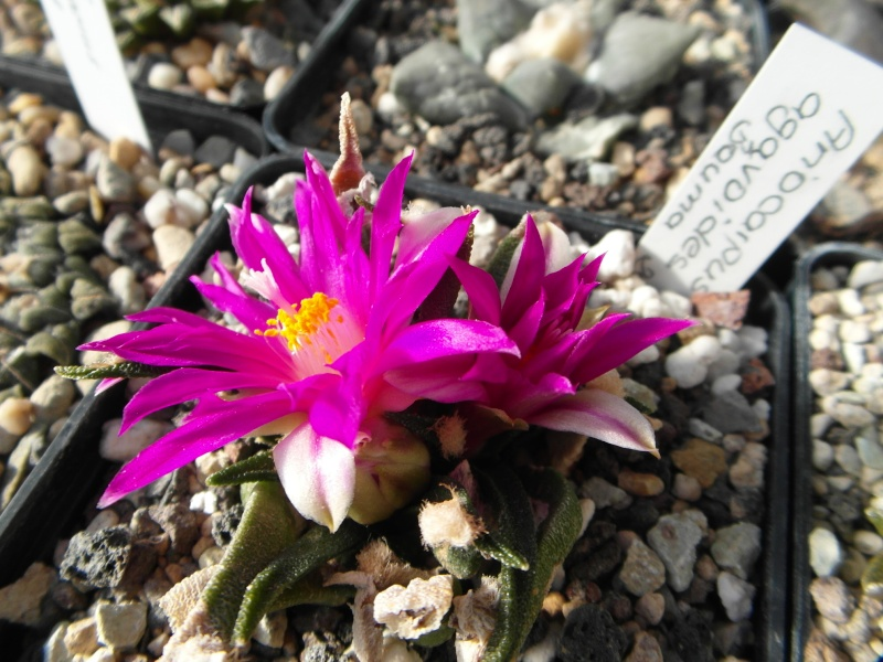 Cacti and Sukkulent in Köln, every day new flowers in the greenhouse Part 64 Bild_616