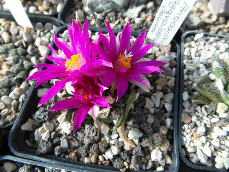 Cacti and Sukkulent in Köln, every day new flowers in the greenhouse Part 64 Bild_617