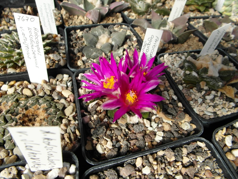 Cacti and Sukkulent in Köln, every day new flowers in the greenhouse Part 64 Bild_618