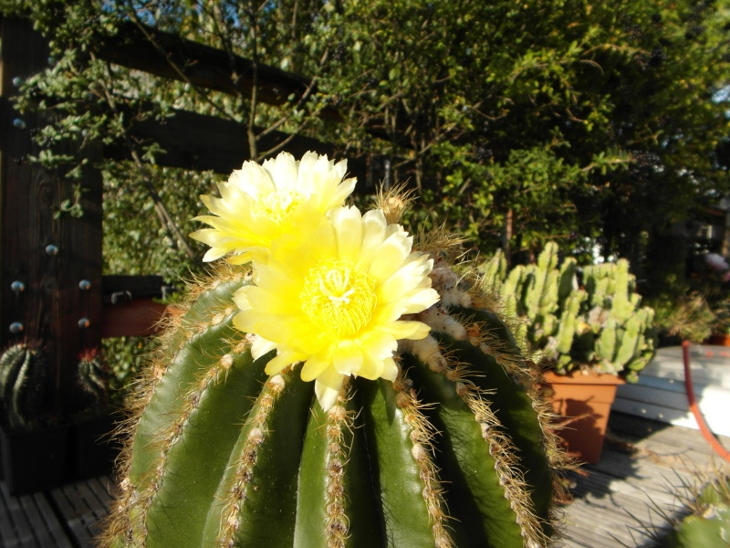 Cacti and Sukkulent in Köln, every day new flowers in the greenhouse Part 64 Bild_620