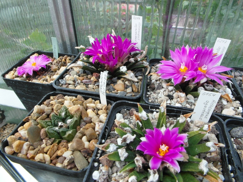 Cacti and Sukkulent in Köln, every day new flowers in the greenhouse Part 64 Bild_636