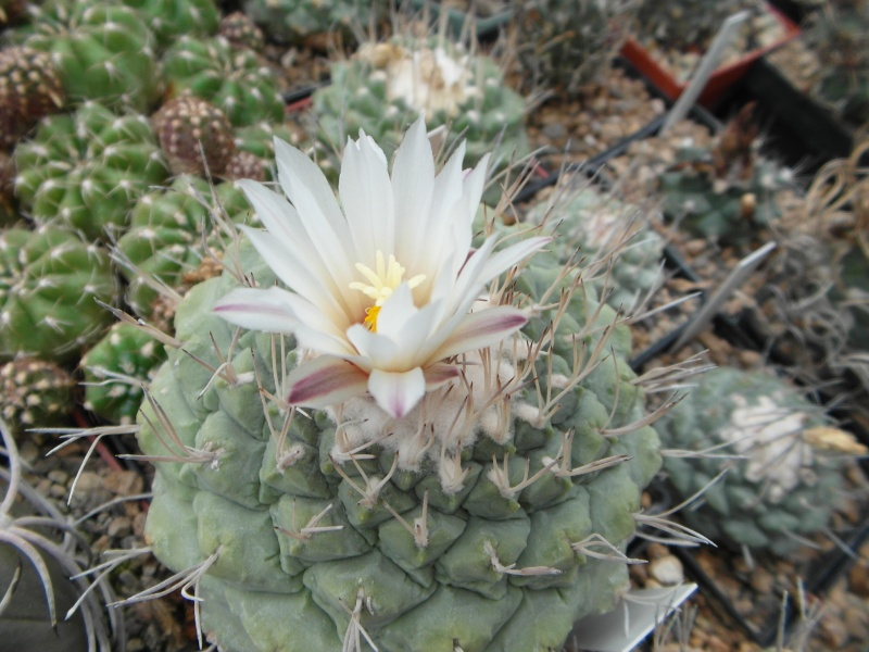 Cacti and Sukkulent in Köln, every day new flowers in the greenhouse Part 64 Bild_645