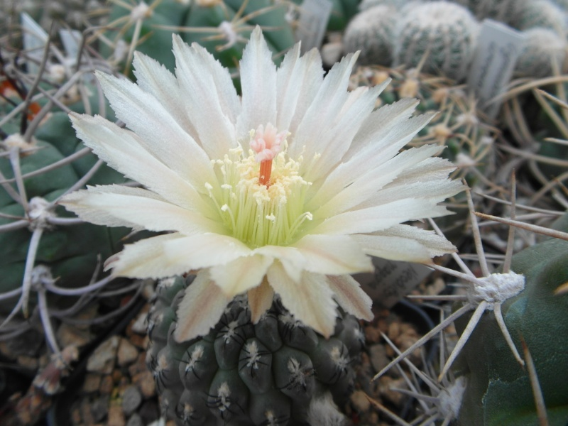 Cacti and Sukkulent in Köln, every day new flowers in the greenhouse Part 64 Bild_646