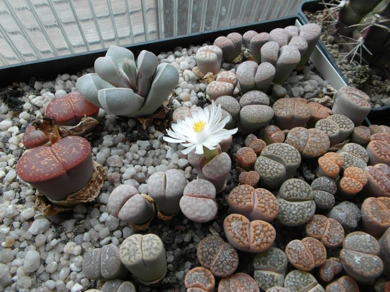 Cacti and Sukkulent in Köln, every day new flowers in the greenhouse Part 64 Bild_647