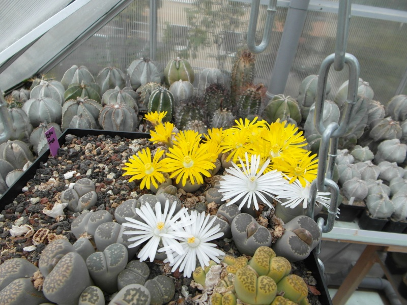 Cacti and Sukkulent in Köln, every day new flowers in the greenhouse Part 64 Bild_648