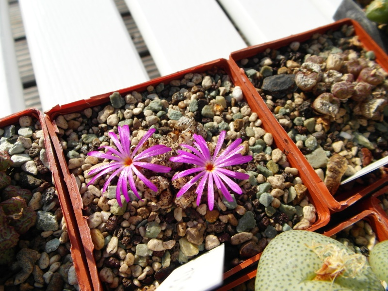 Cacti and Sukkulent in Köln, every day new flowers in the greenhouse Part 65 Bild_672