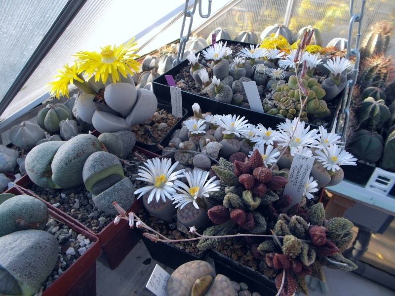 Cacti and Sukkulent in Köln, every day new flowers in the greenhouse Part 66 Bild_693