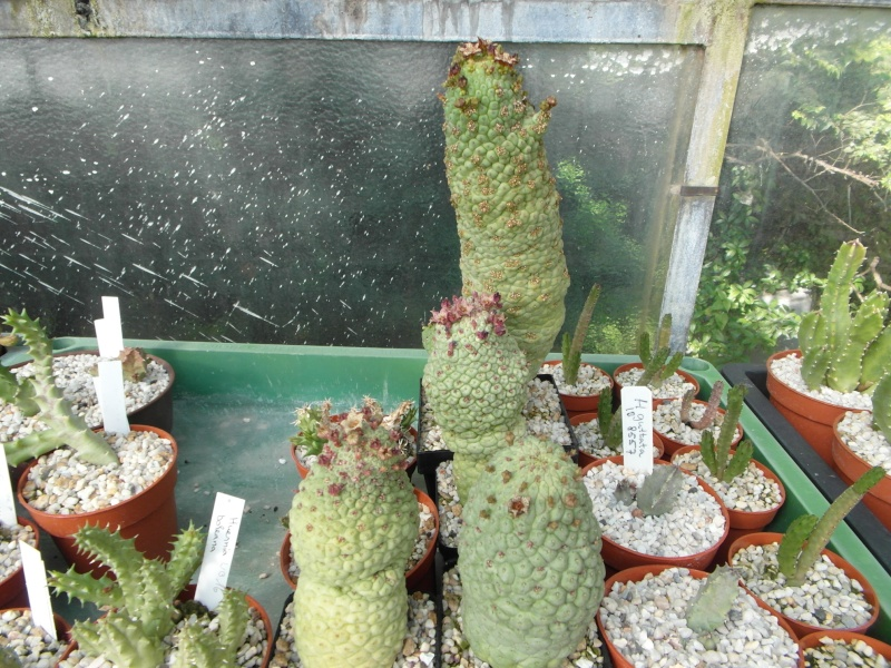 Cacti and Sukkulent in Köln, every day new flowers in the greenhouse Part 70 Bild_703