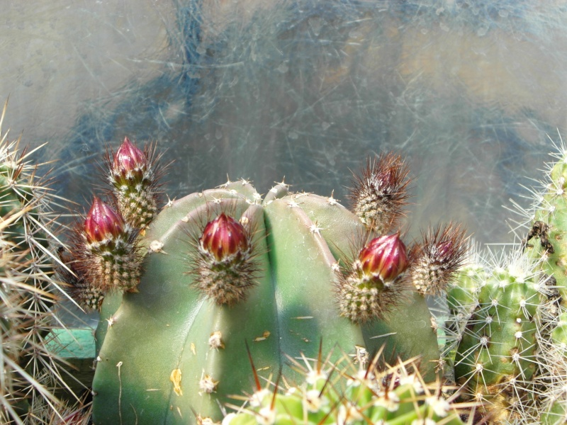 Cacti and Sukkulent in Köln, every day new flowers in the greenhouse Part 70 Bild_709