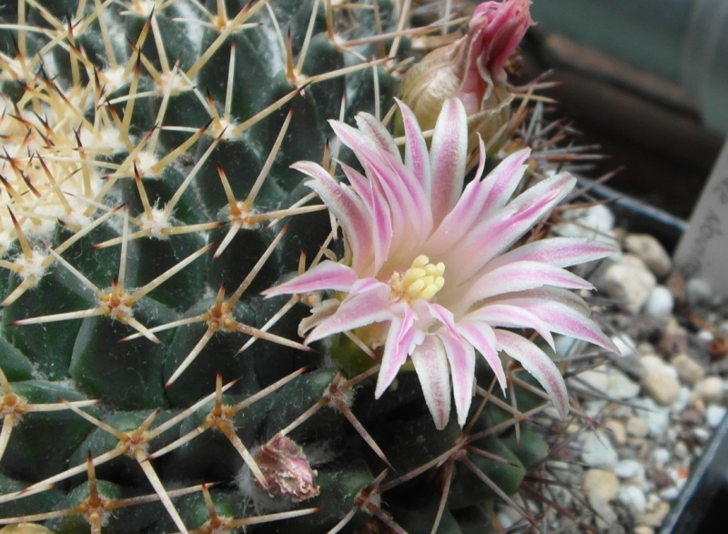 Cacti and Sukkulent in Köln, every day new flowers in the greenhouse Part 70 Bild_734