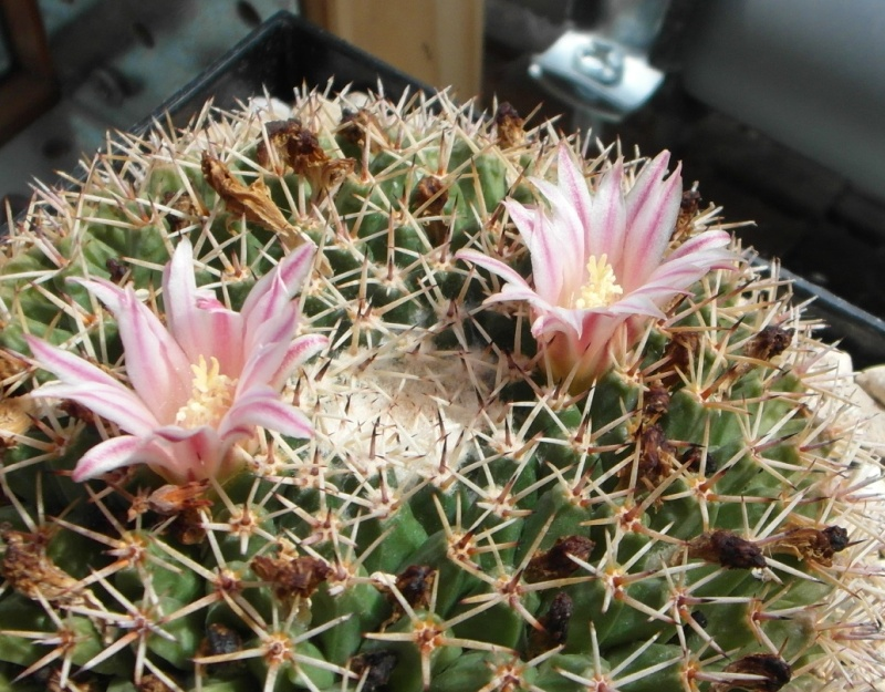 Cacti and Sukkulent in Köln, every day new flowers in the greenhouse Part 70 Bild_735