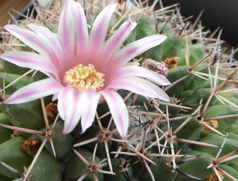 Cacti and Sukkulent in Köln, every day new flowers in the greenhouse Part 70 Bild_745