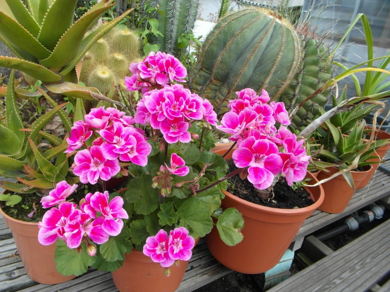 Cacti and Sukkulent in Köln, every day new flowers in the greenhouse Part 70 Bild_755