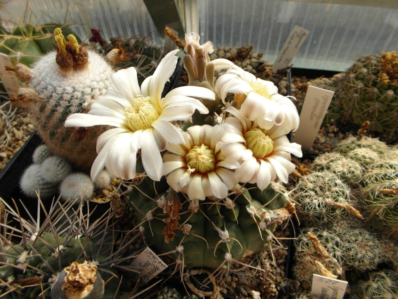 Cacti and Sukkulent in Köln, every day new flowers in the greenhouse Part 70 Bild_773