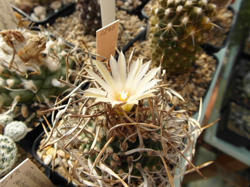Cacti and Sukkulent in Köln, every day new flowers in the greenhouse Part 70 Bild_775